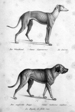 Carl Joseph Brodtmann (1787-1862), Der Windhund; Die englische Dogge, Lithographie, D2362-1